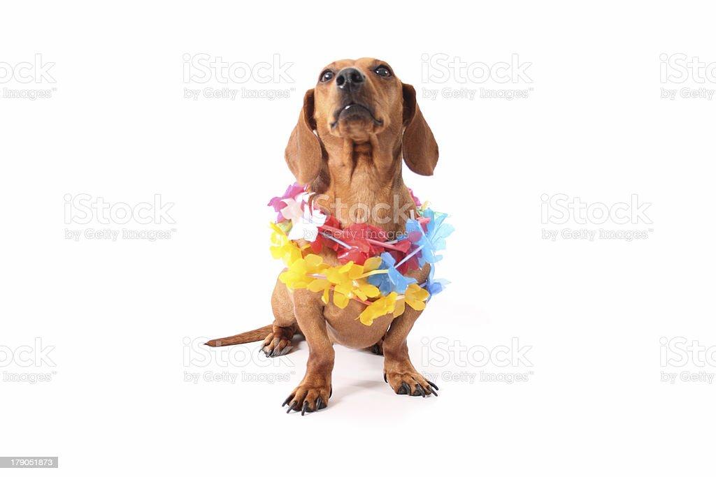 Hawaii dog royalty-free stock photo
