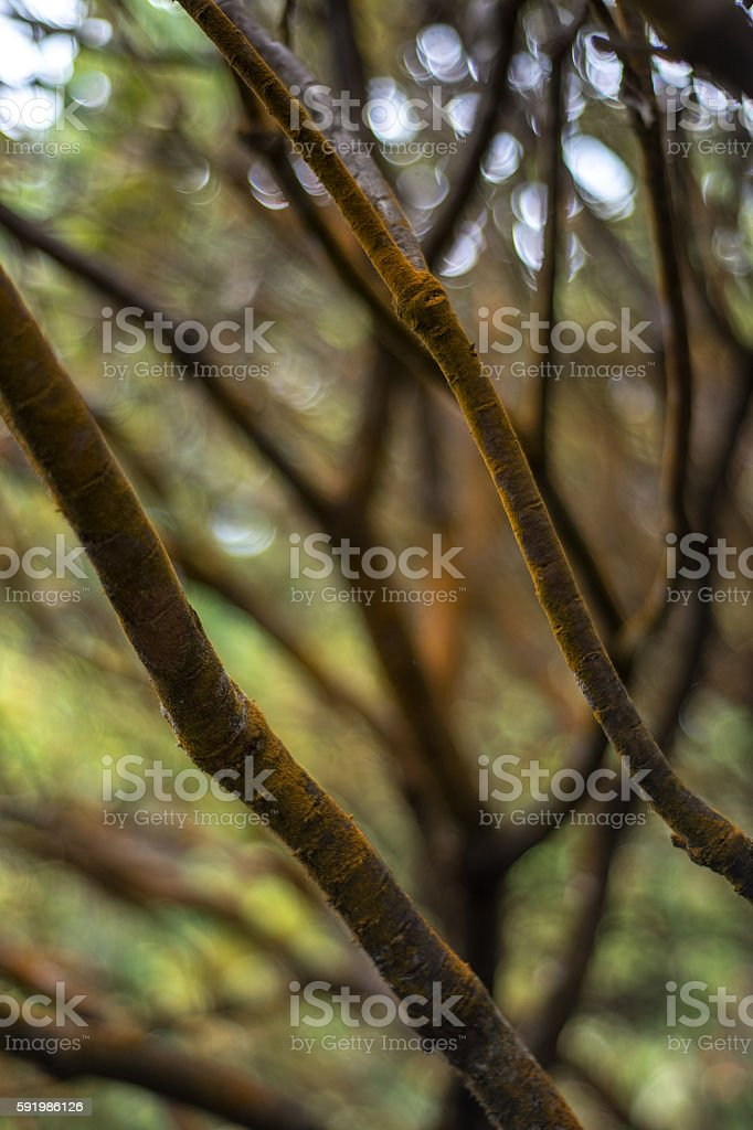 Hawaii Gold Tree with Rain Droplets stock photo