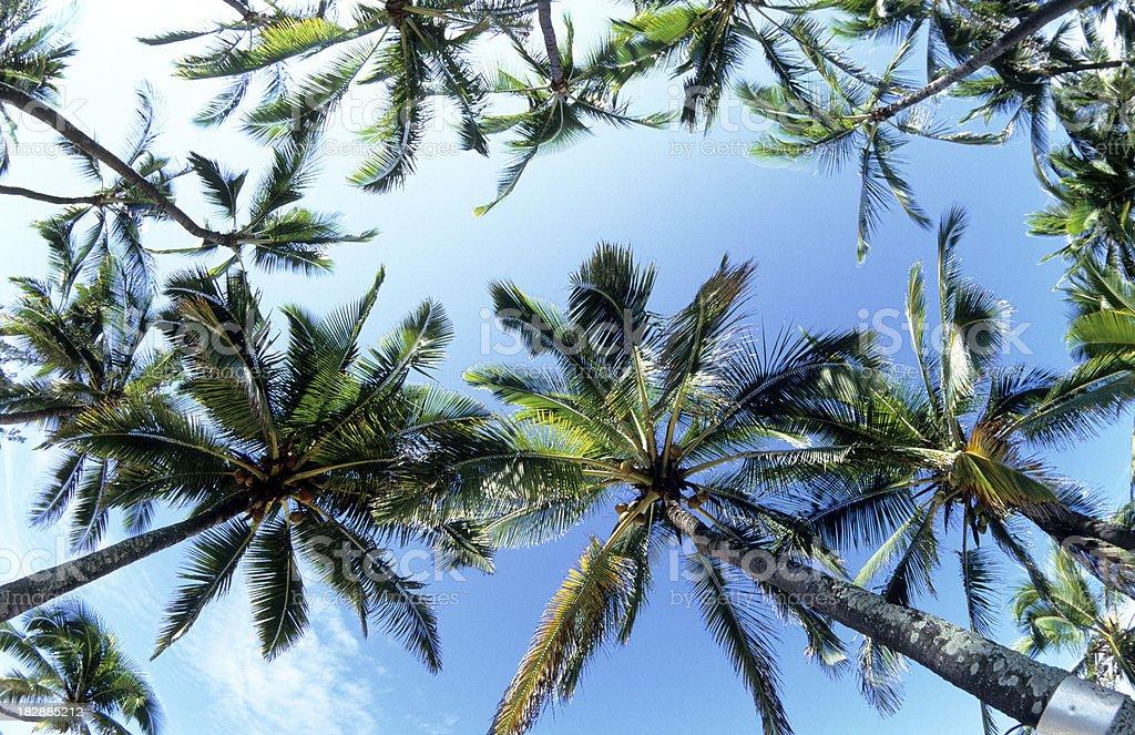 USA Hawaii O'ahu, North Shore, Coconut Palms. royalty-free stock photo