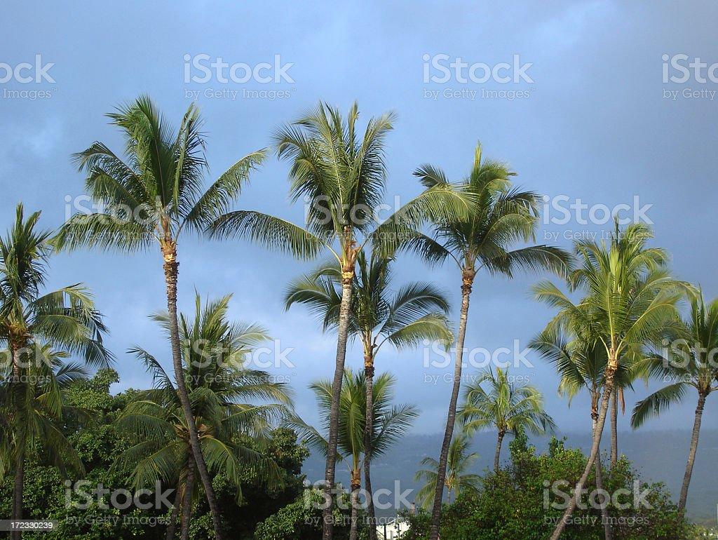 Hawaii tropical palms stock photo