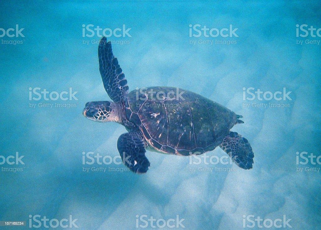 Hawaii underwater turtle royalty-free stock photo