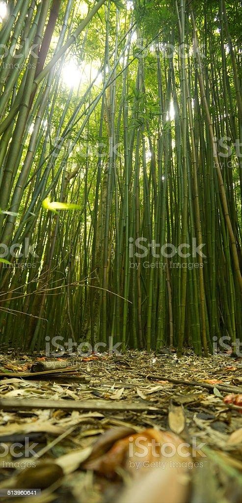 Hawaiian bamboo grove stock photo
