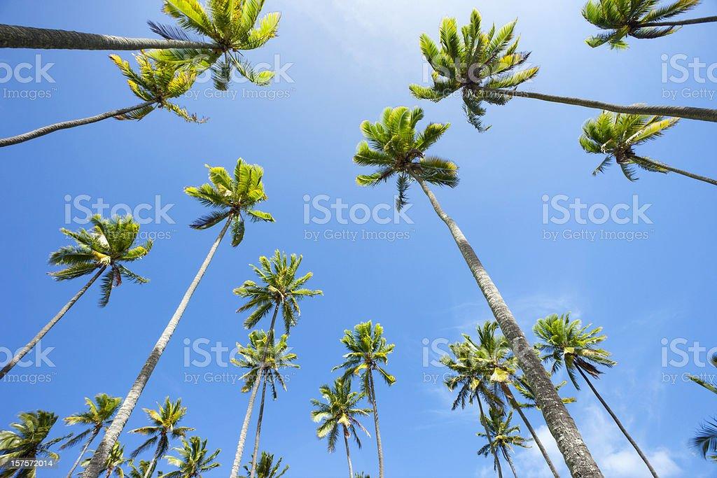 Hawaiian Coconut Palm Trees stock photo