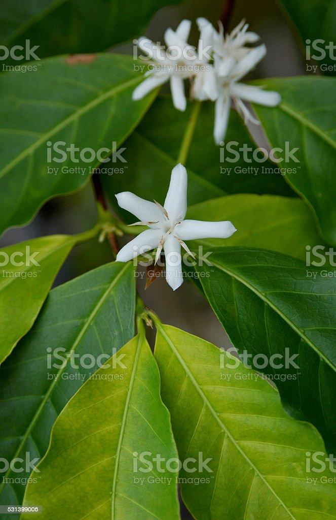Hawaiian Coffee Blossom stock photo