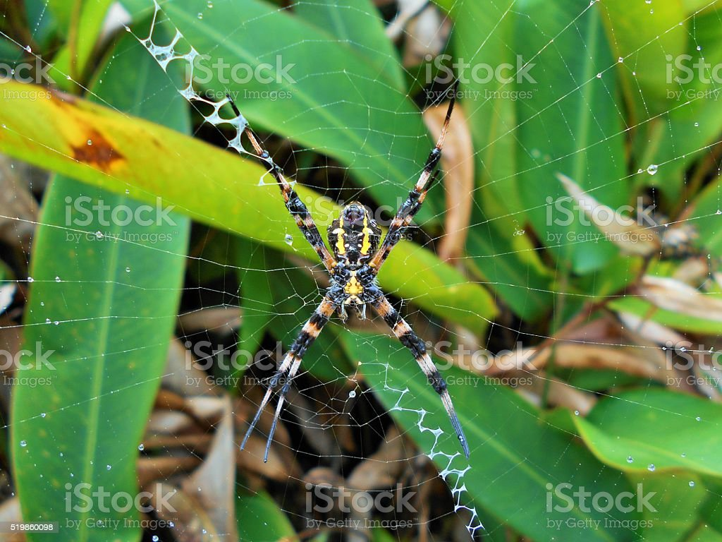 Hawaiian garden spider Argiope Appensa in the rain stock photo