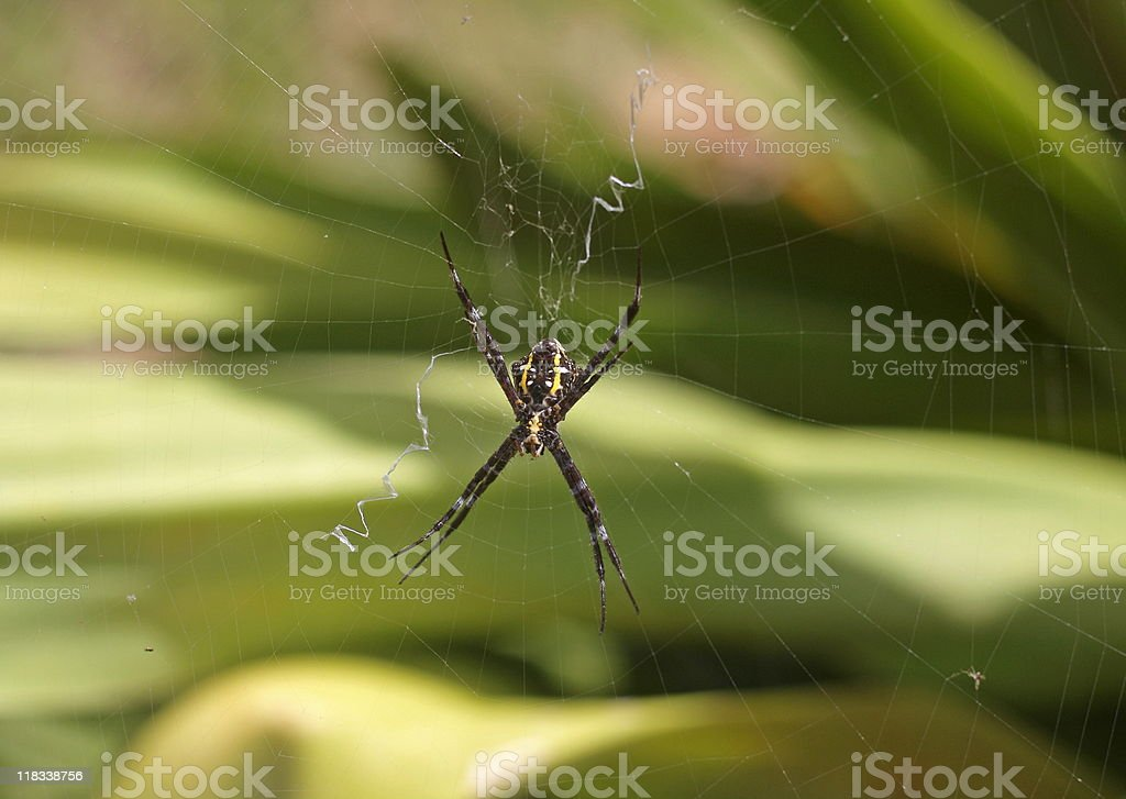 Hawaiian Garden spider - Argiope appensa stock photo