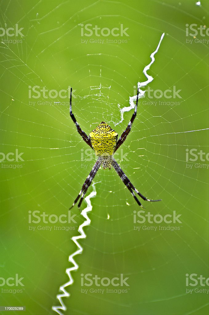 Hawaiian garden spider  Argiope appensa stock photo