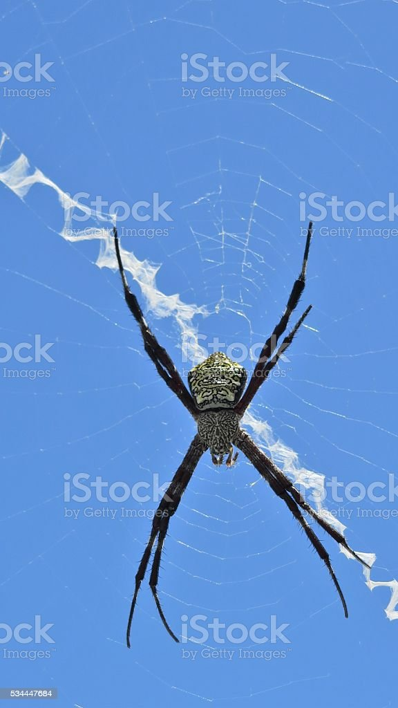 Hawaiian garden spider stock photo