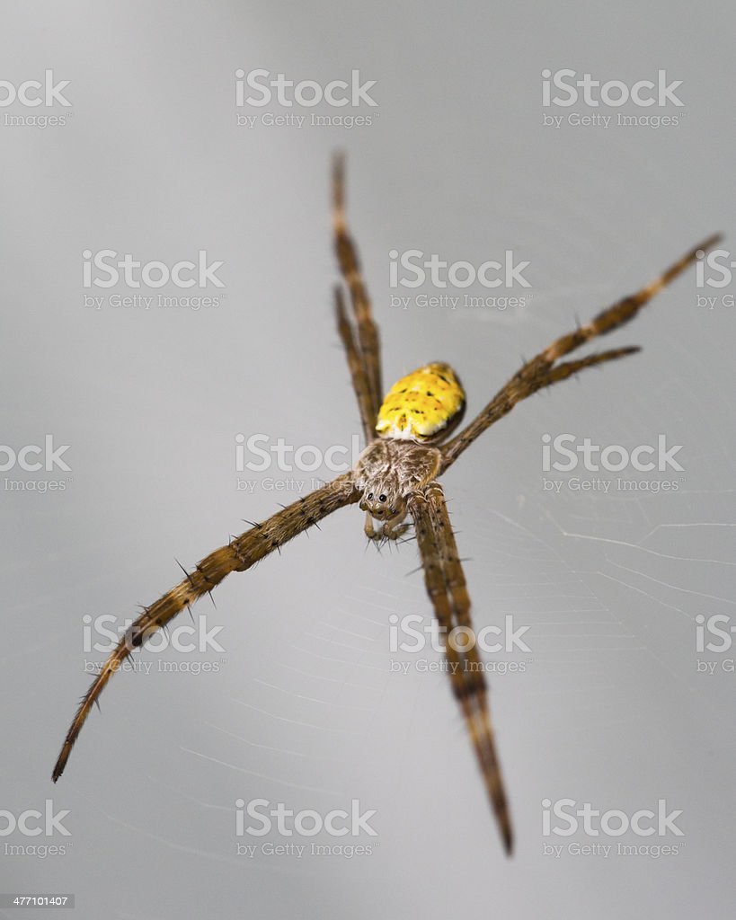 Hawaiian Garden Spider Waiting For Food stock photo