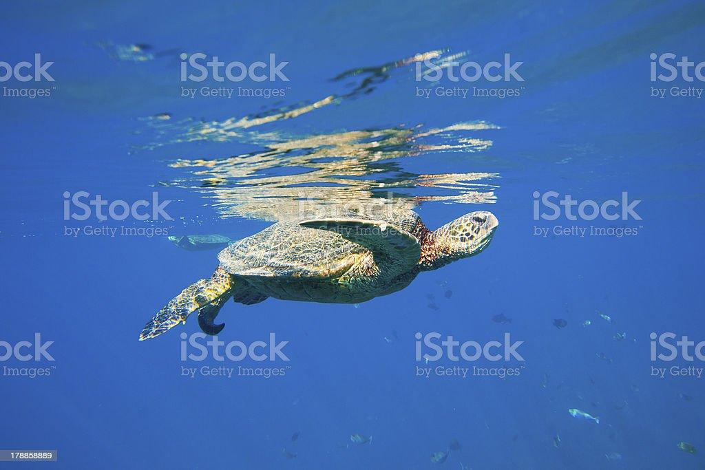 Hawaiian Green Sea Turtle Under Water royalty-free stock photo