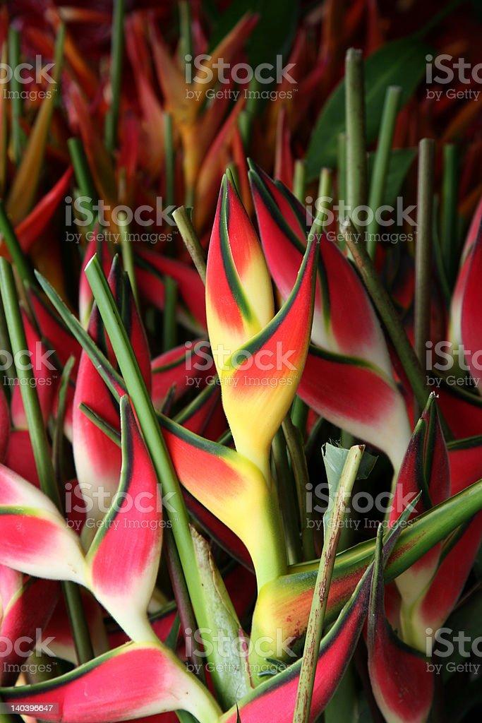 Hawaiian Heliconias stock photo