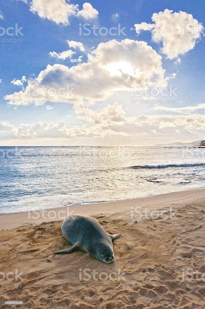 Hawaiian Monk Seal rests on Poipu beach in Kauai stock photo