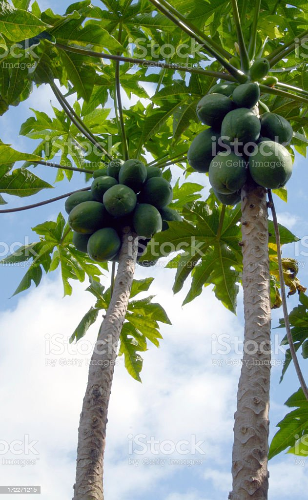 Hawaiian Papaya Tree stock photo