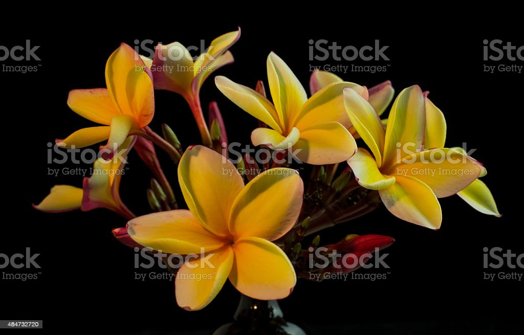 Hawaiian Plumeria Flower stock photo