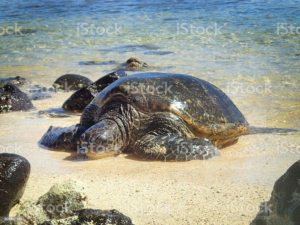 Hawaiian Sea Turtle Sleeping on the Sandy Beach of Kauai royalty-free stock photo