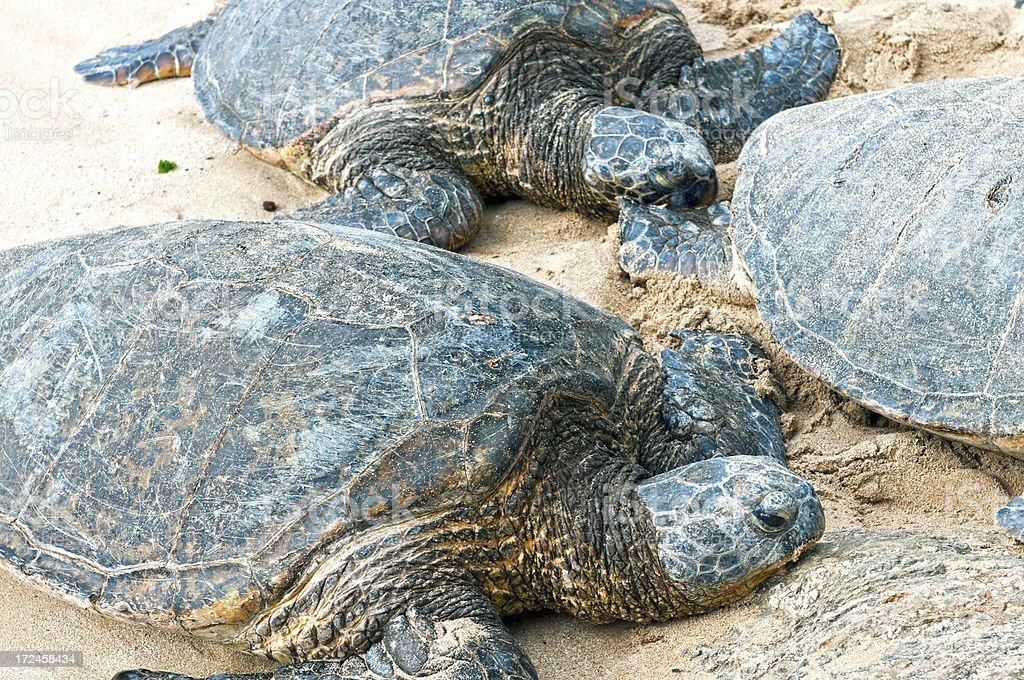 Hawaiian sea turtles resting on Pacific Ocean beach royalty-free stock photo