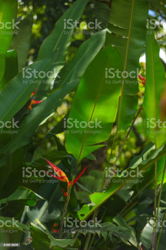 Hawaiian Strelitzia reginae Bird of Paradise stock photo