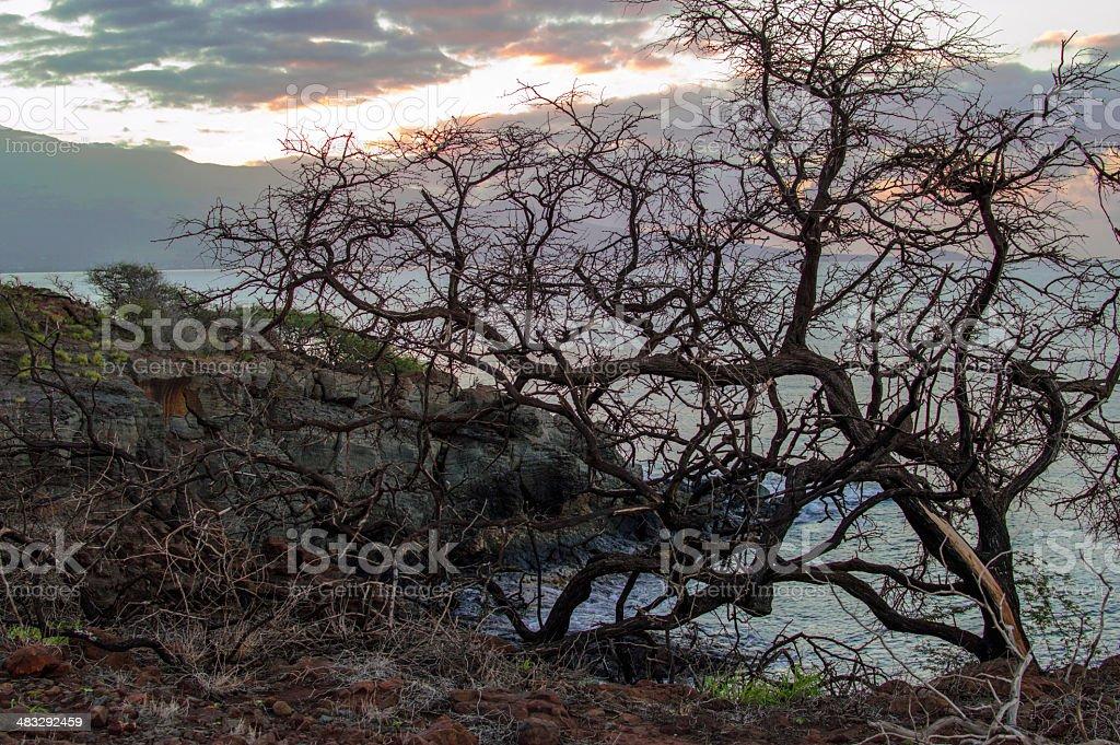 Hawaiian tree stock photo