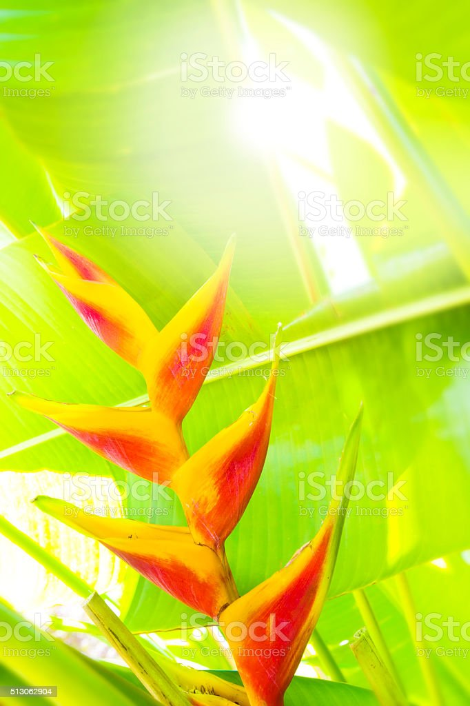 Hawaiian Tropical Rainforest Flower- Heliconia, Lobster Claw Close-up stock photo