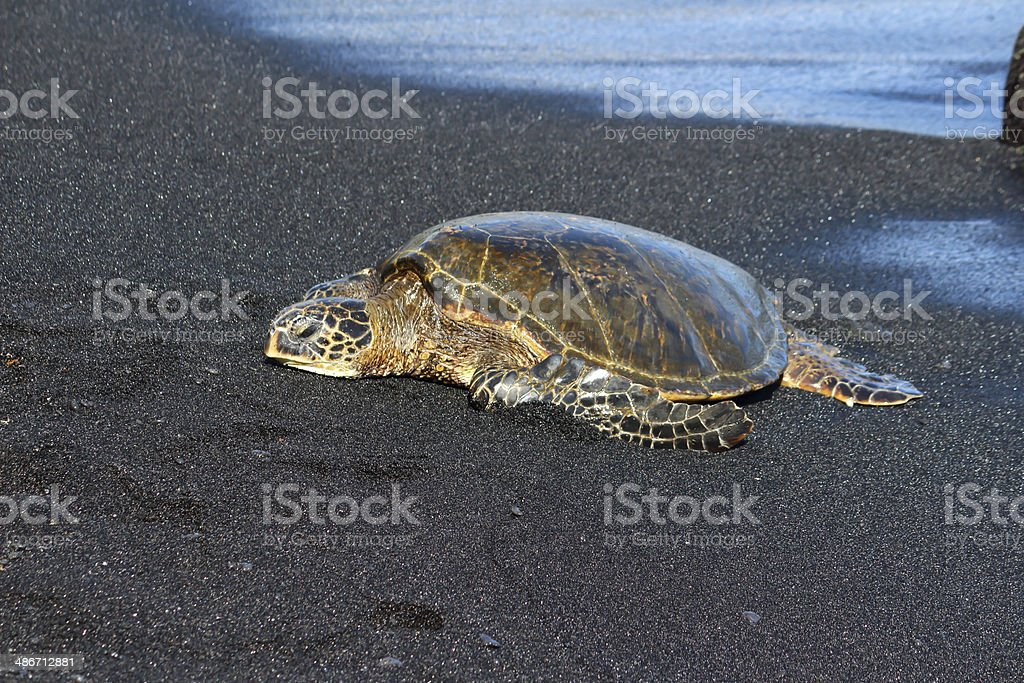 Hawaiian Turtle royalty-free stock photo