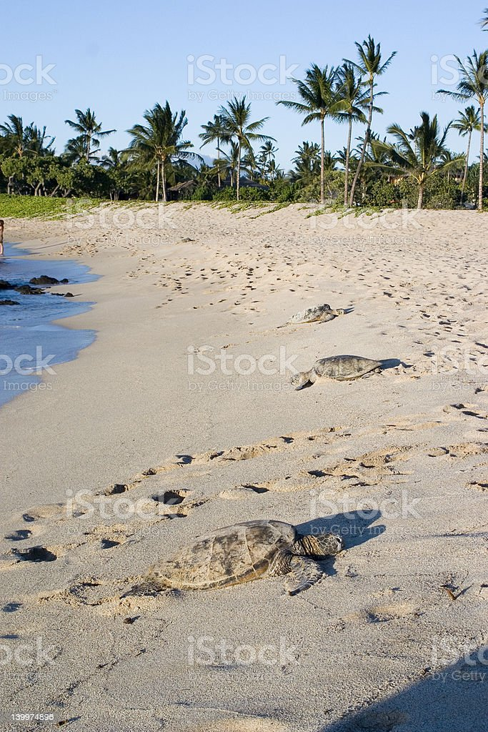 Hawaiian turtles stock photo