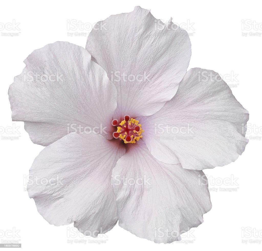 Hawaiian White Hibiscus isolated stock photo