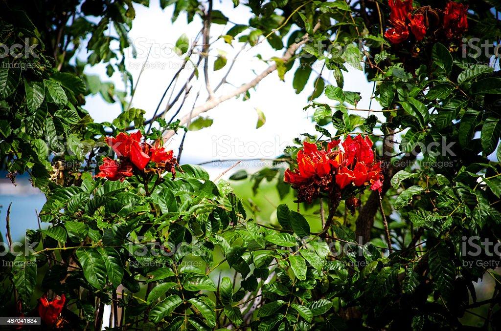 Hawaiian wild flower / the Fountain Tree stock photo