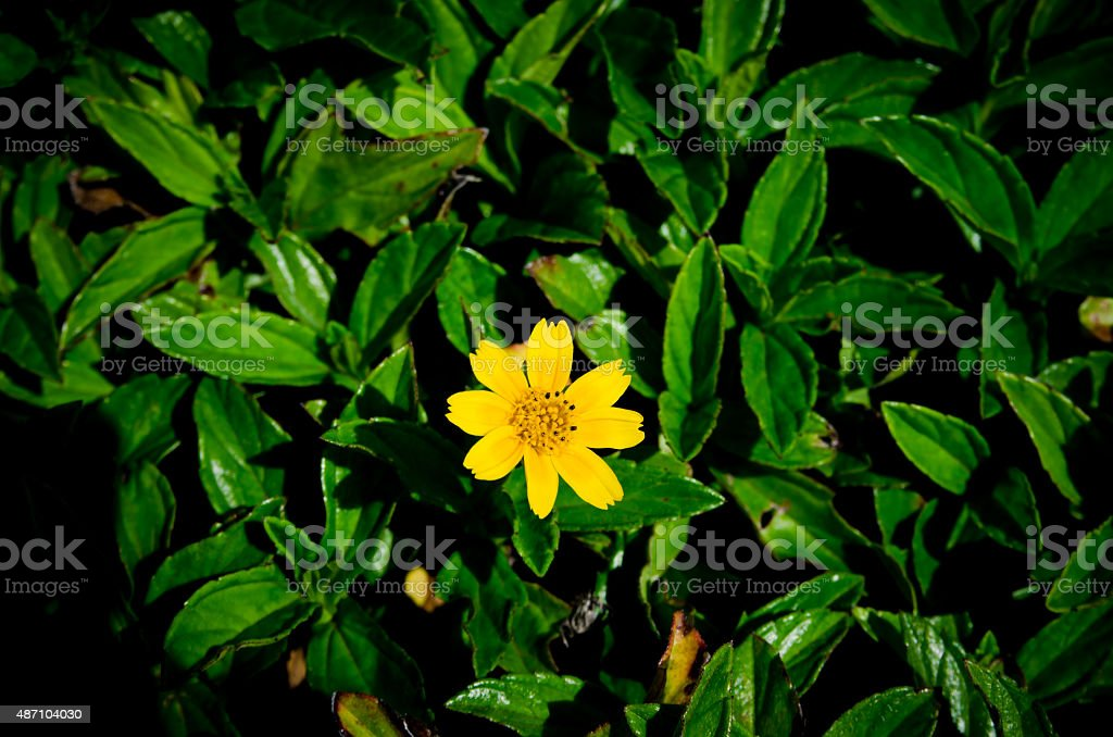 Hawaiian wild flower / the Wedelia stock photo