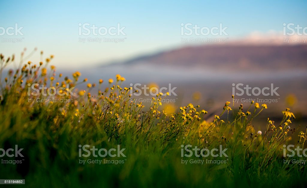 Hawaiian Wildflowers with Snowcapped Mauna Kea in the Distance stock photo