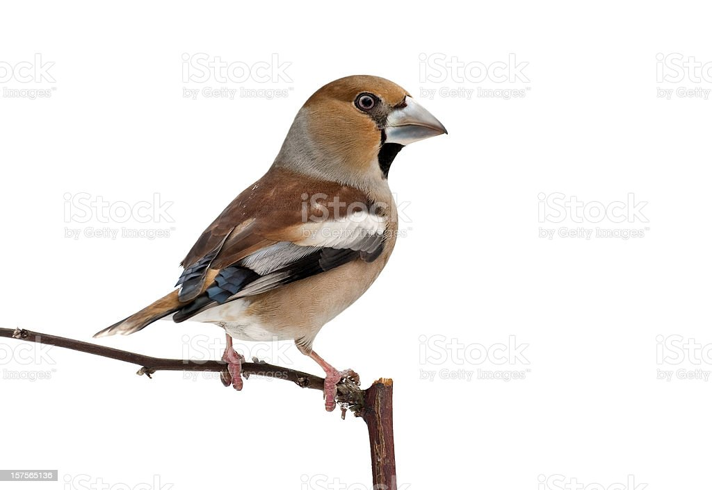 Hawfinch (Coccothraustes coccoth.) royalty-free stock photo