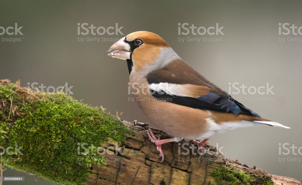 Hawfinch stock photo