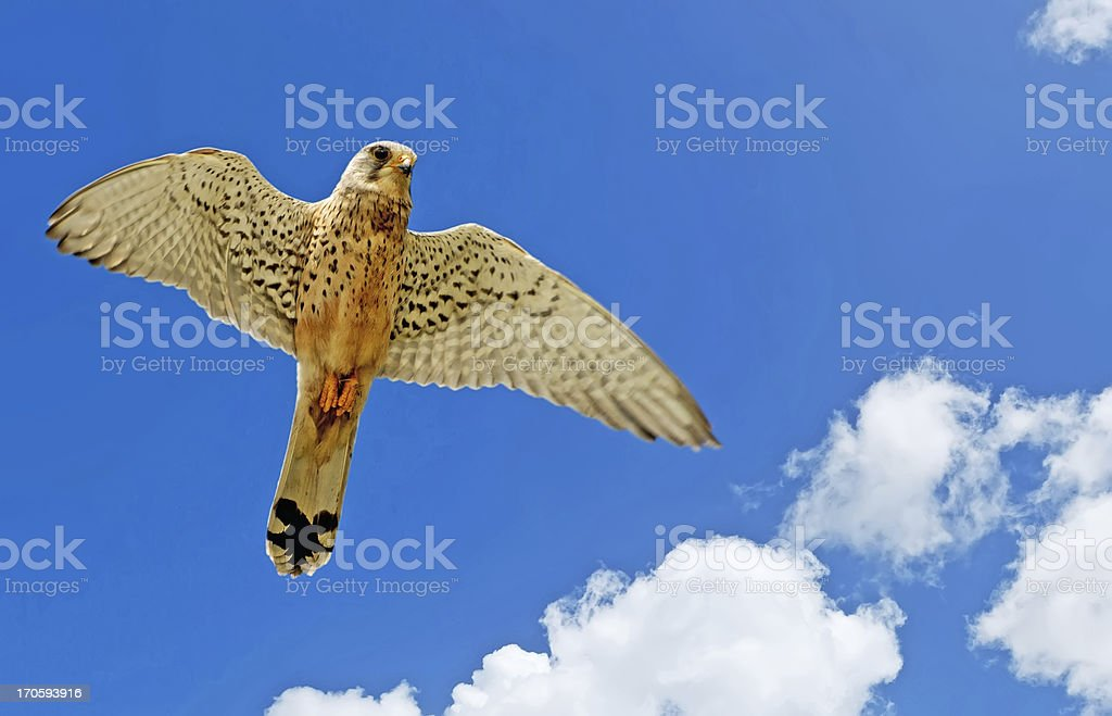 hawk and clouds stock photo