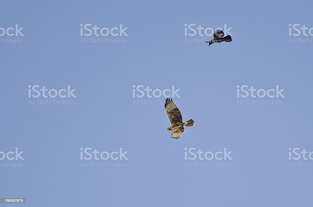 Hawk and Crow Engaged in Aerial Combat royalty-free stock photo