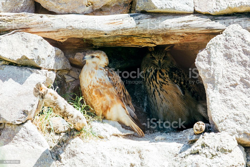 hawk and owl, beautiful in nature animal photograph stock photo