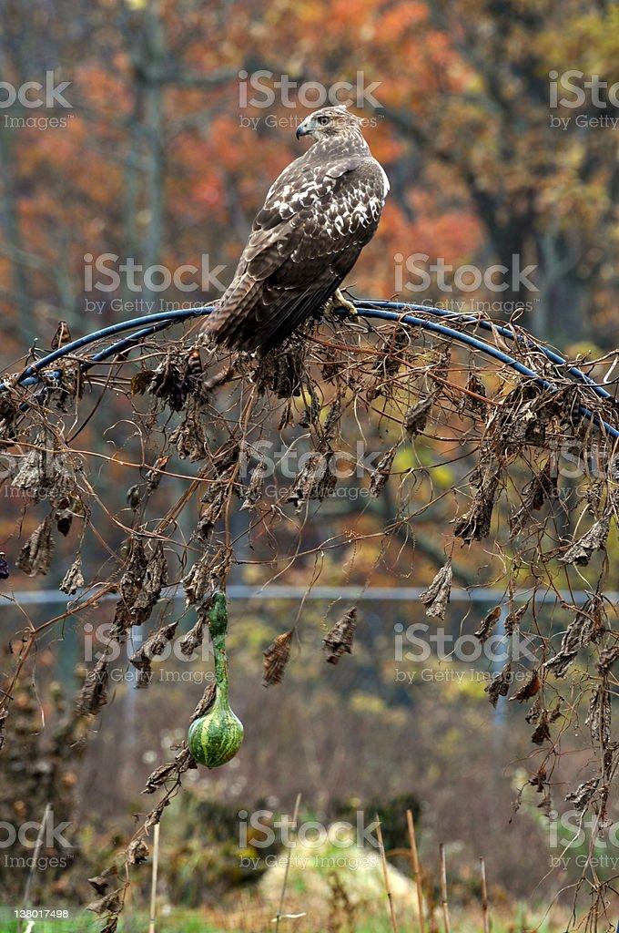 Hawk as an Halloween decoration stock photo