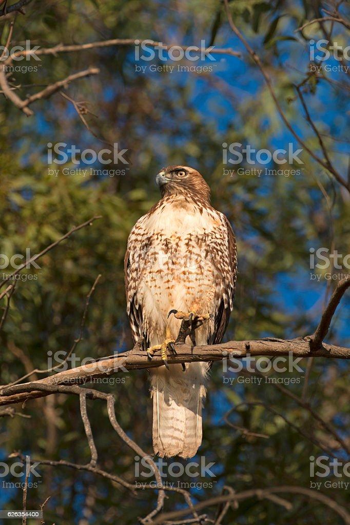 Hawk bird of prey at tree limb perch stock photo