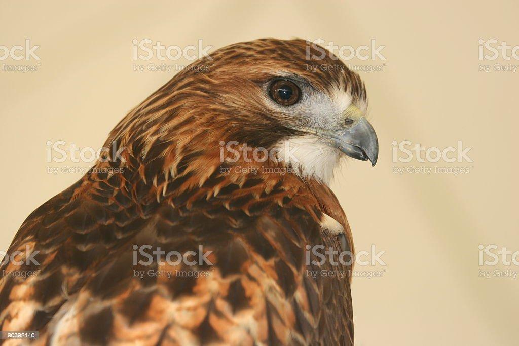 Hawk - close up view stock photo
