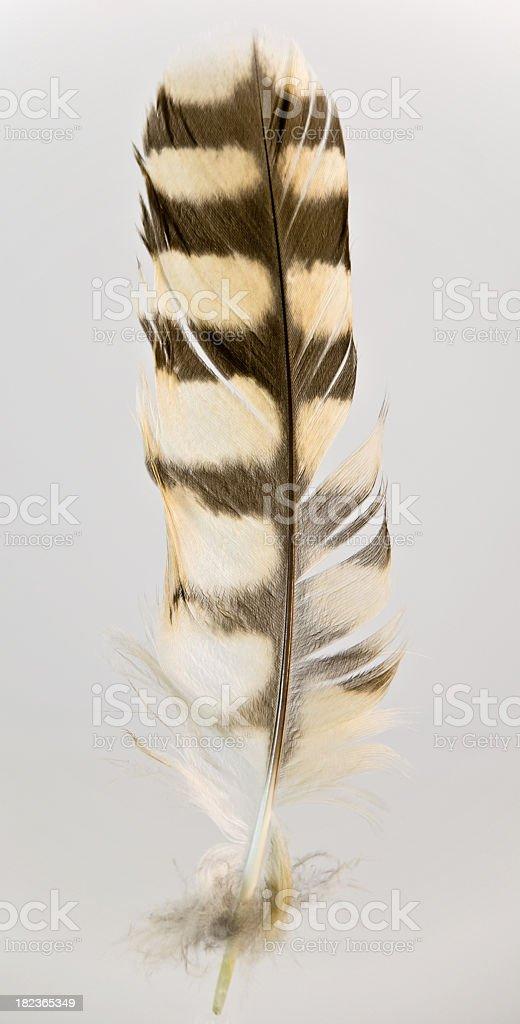 Hawk Feather on White stock photo