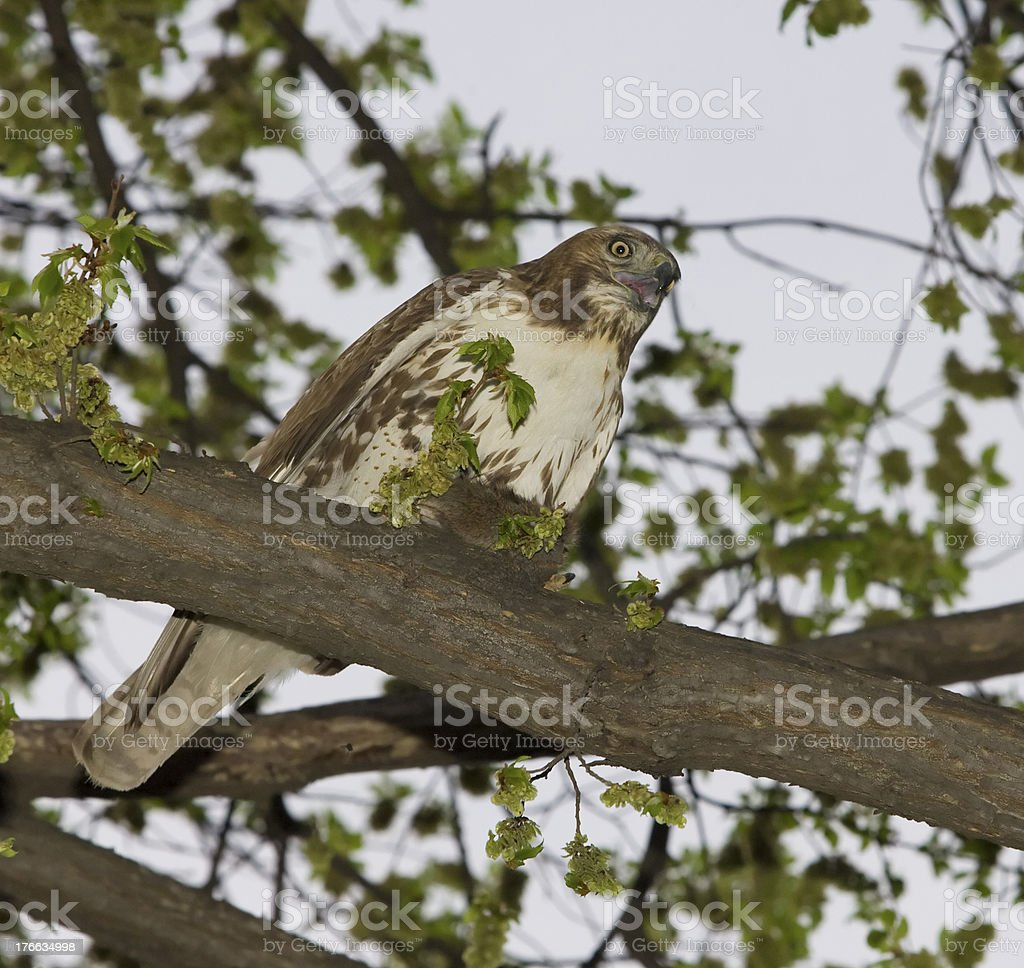 Hawk Feeding On Marsh Rat stock photo