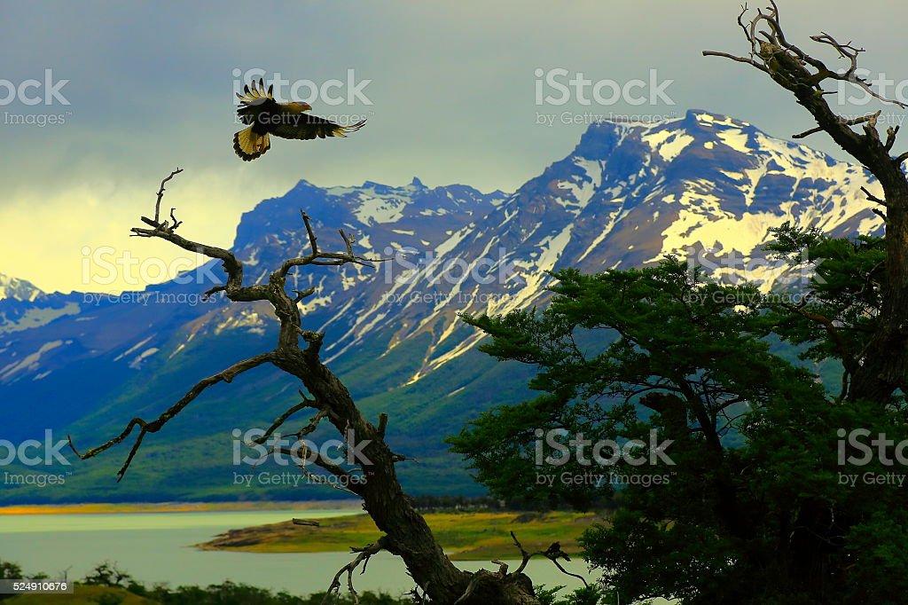 Hawk flying, Patagonia Argentina near El Calafate, Perito Moreno Glacier stock photo
