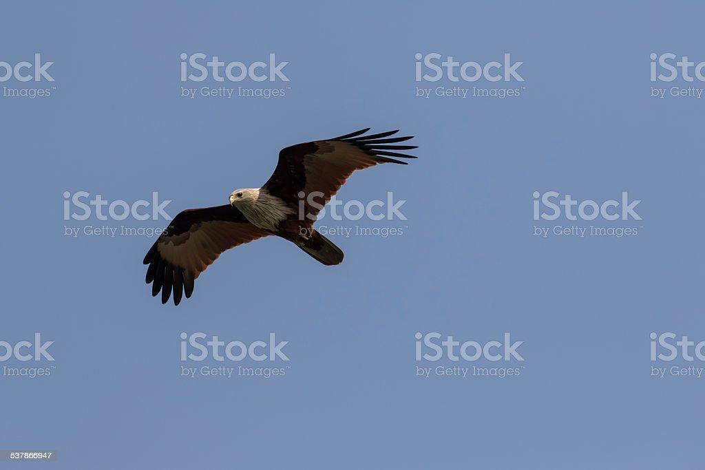 Hawk flying stock photo
