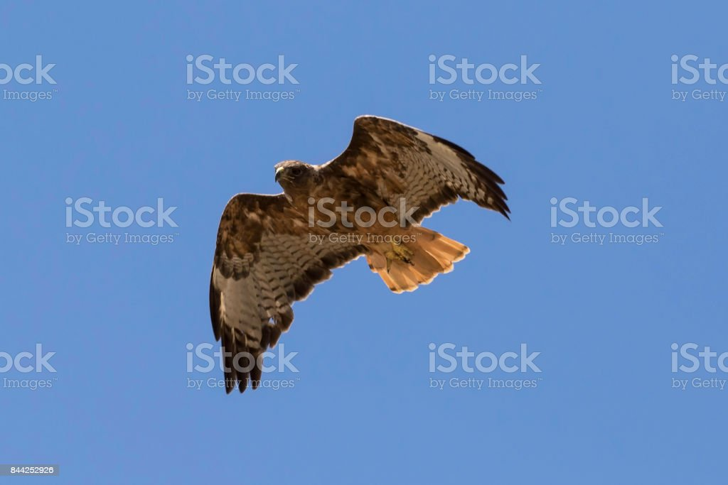 Hawk hunting from high above stock photo