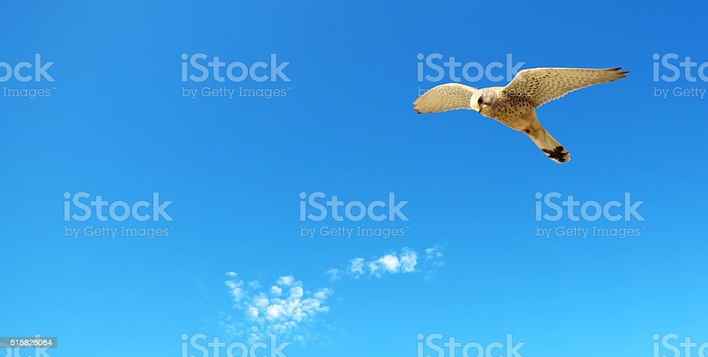 hawk hunting in a blue sky stock photo