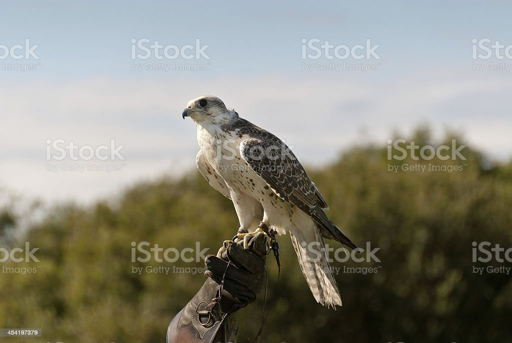 hawk in Cornwall royalty-free stock photo