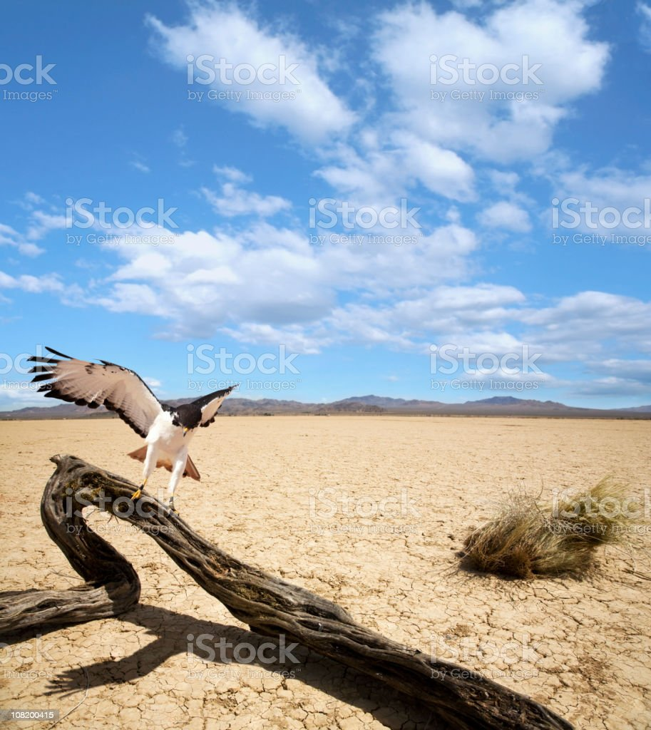 Hawk Landing on Dead Tree in Middle of Mojave Desert stock photo