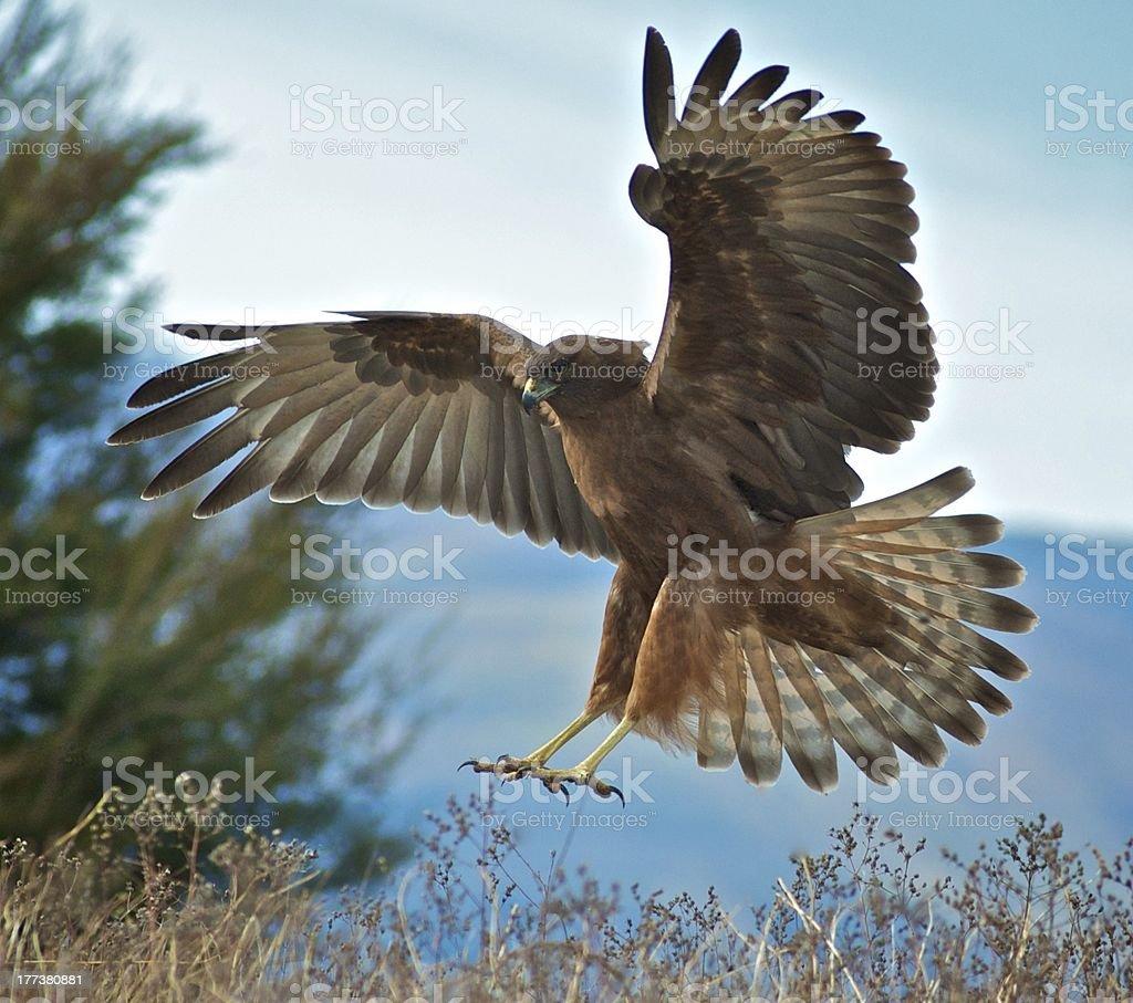 Hawk landing stock photo