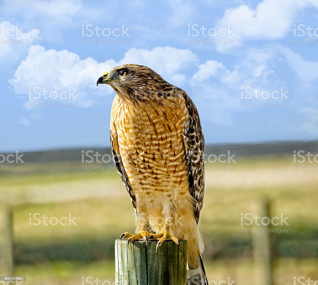 Hawk Looking for Prey in a Pasture stock photo