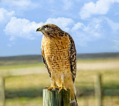 Hawk Looking for Prey in a Pasture