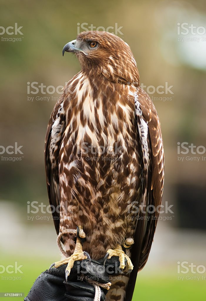 Hawk looking sideways on gloved hand royalty-free stock photo