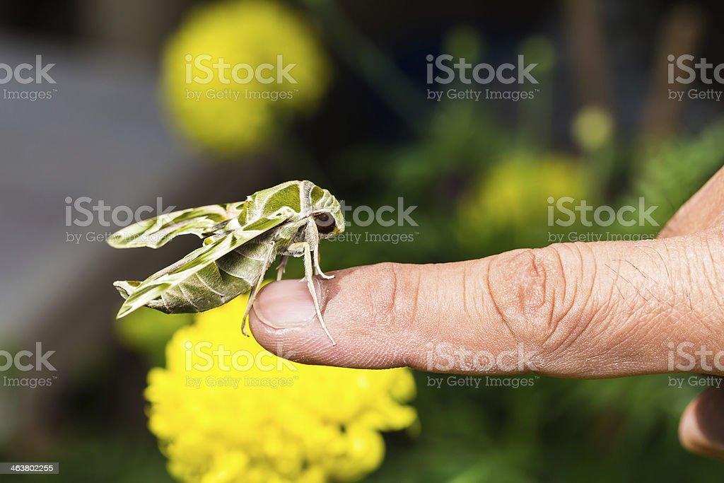Hawk moth on finger stock photo